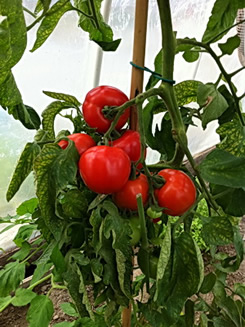 Tomatos grown with Alaska Fish Bone Fertilizer